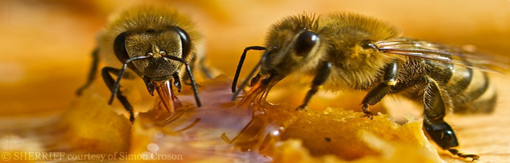 TWO BEES ON HONEY by Simon Croson 2011corrected
