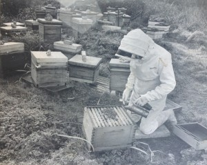 South Cornwall Honey Farm. Brian tending to one of his 400 hives during late 60s / early 70s..